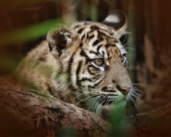 Tiger Cub 3 by montygm