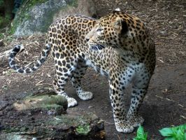 2012 - Sri Lanka leopard 8 by Lena-Panthera