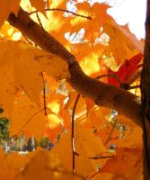 Fall leaves by bwall49