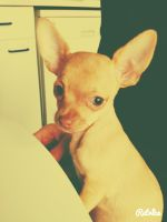 finley the teacup chihuahua by theladyinred002