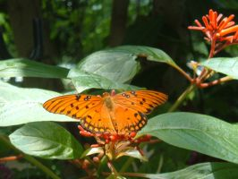 Orange Butterfly by SavageFrog