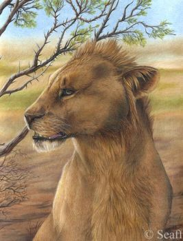 Adolescent lion by acacia tree by Seaff