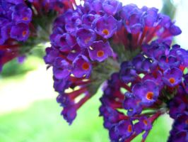 Butterfly Bush by Holly6669666