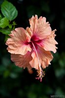 Hibiscus flower by Yupa