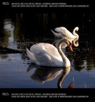 Swan couple 14 by Mithgariel-stock