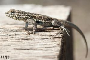 Lizard by WesHPhotography