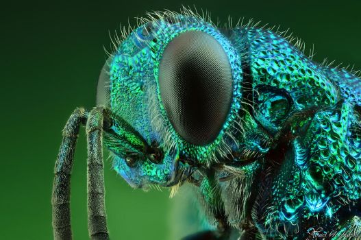 Cuckoo Wasp - Portrait by AlHabshi