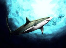 Silky Shark by killer-rabbit-05