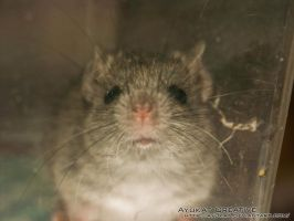 wild house mouse 3 by ayukat