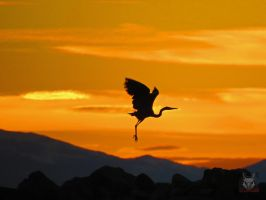 Heron Silhouette Against Gold by wolfwings1