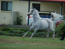 JA Arab Grey Canter on halter by Chunga-Stock