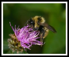 Bee Bumble by jesse-botanical