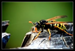 Resting wasp. by serenityamidst