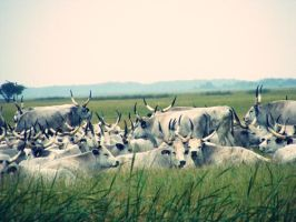 cows by Pitipoanca
