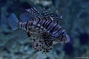 Lionfish by LukaszNature