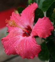 Wet Hibiscus by celticsun1