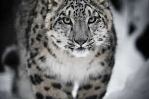 Snow Leopard by Modi1985