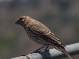 Female House Finch 2 by photographyflower