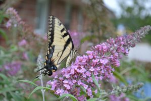 Butterfly Bush 6 by Singing-Wolf-12