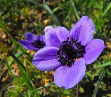 Crown Anemone 2 by floramelitensis