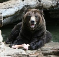 Denver Zoo 233 Bear by Falln-Stock