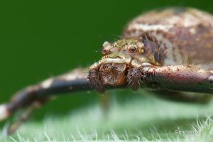 Strigoplus (Simon, 1885) Crab Spider by melvynyeo