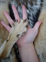 Jackal paw size comparison by Featherologist