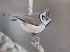 A Crested tit by roisabborrar