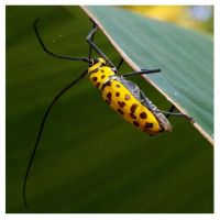 Flat-faced longhorn beetle by kiew1