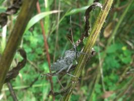 Wheel Bug 2 by rikumario
