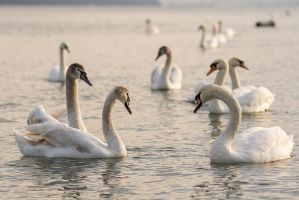 Danube swans in the morning by marinbgd