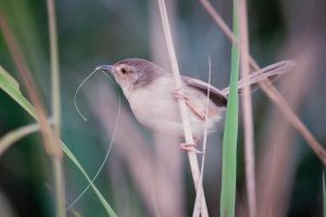 The Prinia by llemonthyme