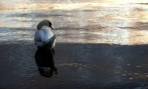 Swan on Windermere by ChrisM38