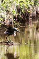 Great Blue Heron Taking Off - New Orleans 2012 by Shadow848327