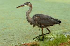Blue heron Walking by kl61