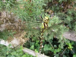 Female Southern Hawker by Cosmisia