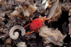 Velvet mite dragging millipede by melvynyeo