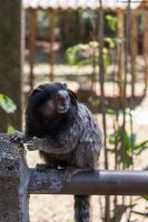 Marmoset by creatto938