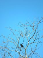 Red Winged Black Bird 2 by otakuhobbit