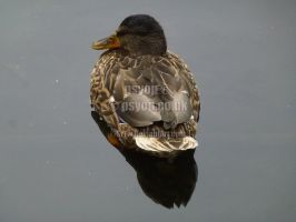 Floating Duck in Park by SrTw