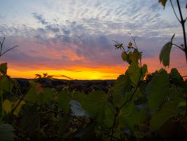 Fire in the Vineyard by sebastopolgoose
