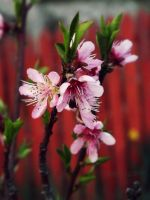 Peach blossom. by BloodyPentagram