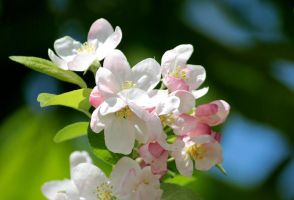 Cherry Flowers II by NorthernLand