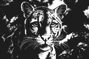 Clouded leopard black and white by Bisanti