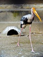 Painted Stork Zoo by SouravLovesNature