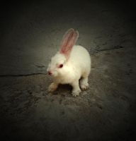 baby rabbit by lisans