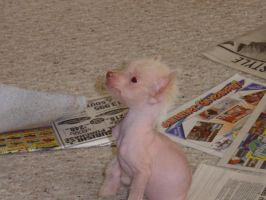 Chinese Hairless Crested - Pup by Eveco