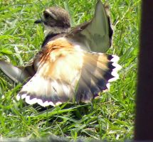 Kildeer by SuicideBySafetyPin