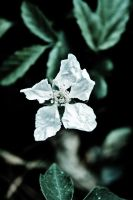 White Flower by ColorfulMusiicNotes