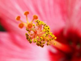 Hibiscus 3 by AquarianPhotography